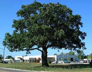 Oakville Great Oak Tree Summer